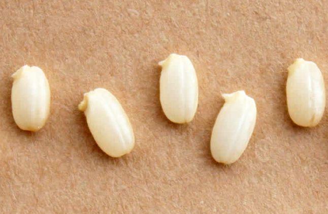 玄米 発芽
